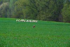El conejo corre el prado verde del ober fotos de archivo