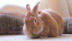 El conejo de conejito adorable del rufus que come una uva, mira ajuste natural divertido y lindo, suave