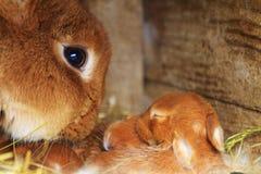 El conejo de la madre huele sus pequeños conejos foto de archivo