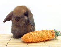 El conejo del bebé de Holland Lop de la concha se sienta en la estera Fotos de archivo