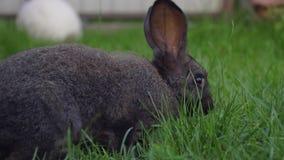El conejo divertido negro con los oídos grandes salta en un prado verde y come la hierba metrajes