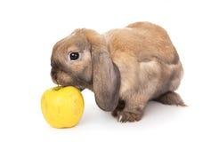 El conejo enano huele la manzana amarilla. Fotografía de archivo