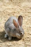 El conejo espigado mordisca hierba verde, hizo su manera a través de la arena foto de archivo