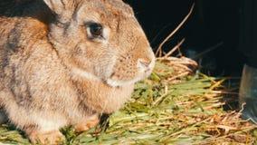 El conejo grande gris divertido mira alrededor en jaula abierta almacen de metraje de vídeo