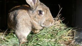 El conejo grande gris divertido mira alrededor en jaula abierta almacen de video