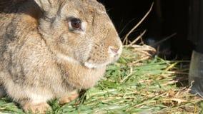 El conejo grande gris divertido mira alrededor en jaula abierta metrajes