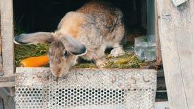 El conejo grande gris divertido mira alrededor en una jaula abierta cerca de zanahoria grande Concepto de Pascua metrajes
