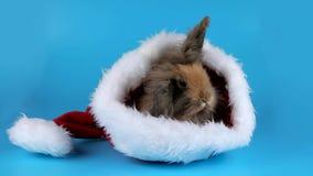 El conejo marrón mullido se sienta y oliendo en el sombrero de Santa Claus almacen de metraje de vídeo