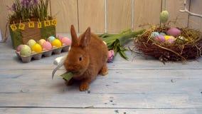 El conejo mullido en concepto tradicional del símbolo de la celebración de pascua del arco que come el tulipán proviene metrajes