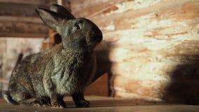 El conejo mullido le mira y menea su nariz almacen de video