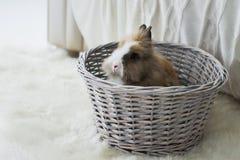 El conejo peludo lindo se sienta en una cesta Fotografía de archivo