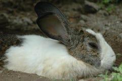 El conejo soñoliento foto de archivo