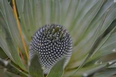 El conifer2 foto de archivo