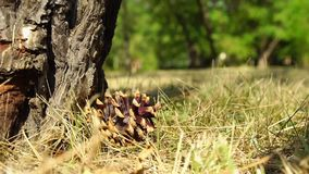 El cono de abeto cae en la tierra en el bosque metrajes