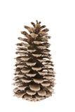 El cono del cedro Fotografía de archivo