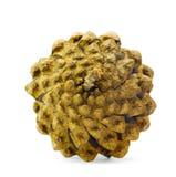 El cono del pino Fotografía de archivo