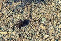El cono del pino cae abajo en el piso Fotos de archivo