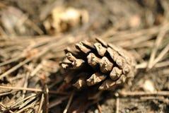El cono del pino miente en la tierra en el primer de las agujas del pino Fotos de archivo