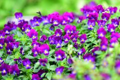 El cono púrpura florece la floración en primavera en los jardines botánicos de Auckland Imagen de archivo