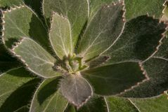 El conocarpodendron de Leucospermum es end?mico a la pen?nsula del cabo de Sur?frica fotografía de archivo
