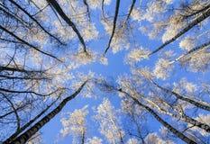 El contexto natural de los troncos largos, delgados de los árboles de abedul Fotografía de archivo libre de regalías
