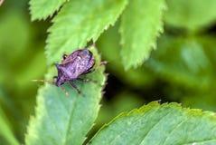 El control de parásito, insecto de cuernos se sienta en una planta Fotos de archivo