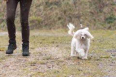 El controlador y el perro con cresta chino está caminando en tiempo fangoso imagenes de archivo