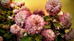 El convertido de la margarita blanca en la flor rosada de la margarita fotografía de archivo