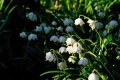 El copo de nieve de la primavera florece el vernum de Leucojum que florece en puesta del sol Fotografía de archivo