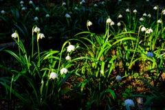 El copo de nieve de la primavera florece el vernum de Leucojum que florece en puesta del sol Imagen de archivo