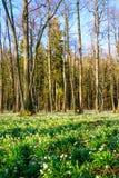El copo de nieve de la primavera florece el vernum de Leucojum que florece en puesta del sol Foto de archivo