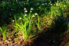 El copo de nieve de la primavera florece el vernum de Leucojum que florece en puesta del sol Foto de archivo libre de regalías
