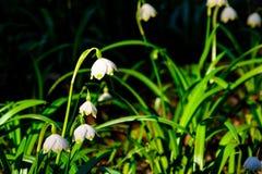 El copo de nieve de la primavera florece el vernum de Leucojum que florece en puesta del sol Fotos de archivo
