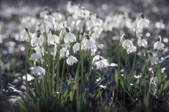 El copo de nieve hermoso de la primavera florece en el prado verde fotografía de archivo