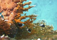 El coral anaranjado Fotografía de archivo