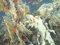 El coral anaranjado Foto de archivo