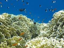 El coral hermoso Fotos de archivo