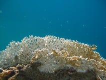 El coral hermoso Imagen de archivo