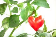 El corazón de la pimienta roja está en una rama Fotografía de archivo libre de regalías