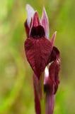 El corazón floreció la flor de Serapias - cordigera de Serapias Foto de archivo