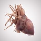 El corazón humano Imagenes de archivo