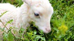El cordero blanco mastica la hierba fresca en una granja casera almacen de video