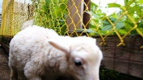 El cordero blanco mastica la hierba, una niña está frotando ligeramente un cordero en una granja en el verano almacen de metraje de vídeo