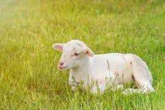 El cordero blanco miente en el prado de la hierba Foto de archivo