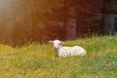 El cordero blanco miente en el prado de la hierba Imagen de archivo