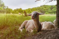 El cordero blanco miente en el prado de la hierba Foto de archivo libre de regalías