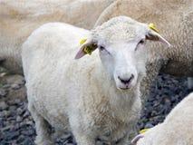El cordero de un año en granja Fotografía de archivo