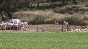 El cordero persigue el buitre egipcio lejos, Huerto, España almacen de video