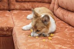 el Corgi travieso del perrito del perro del pelirrojo con mún comportamiento miente en el sofá e hizo un agujero y rasgó la tapic imagenes de archivo