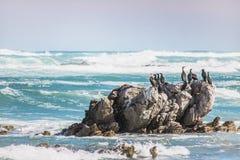 El cormorán del cabo en una roca rodeada estrellándose agita fotos de archivo